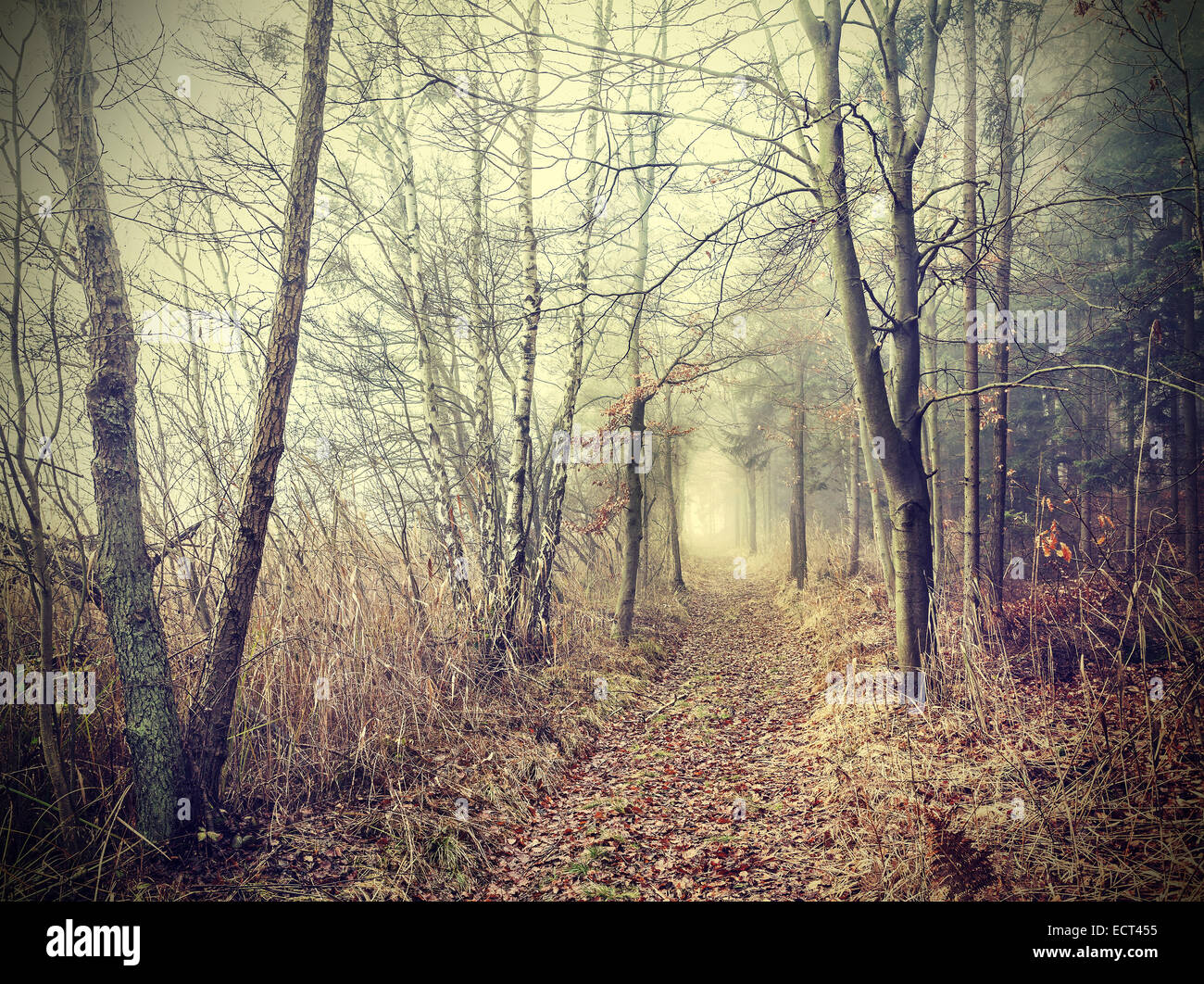 Mysterious autumnal forest in a foggy day. - Stock Image