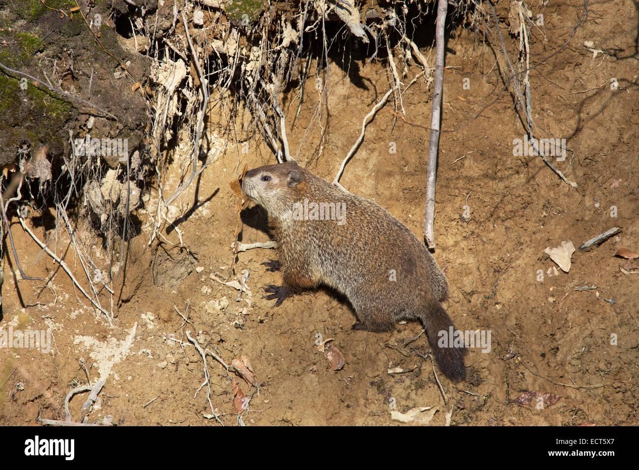 Groundhog on the bank of a creek - Stock Image