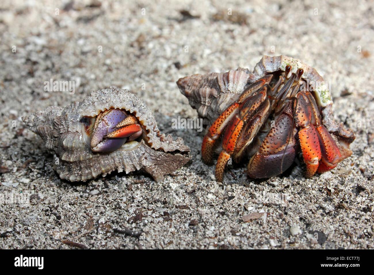 Caribbean Hermit Crab Coenobita clypeatus - Stock Image