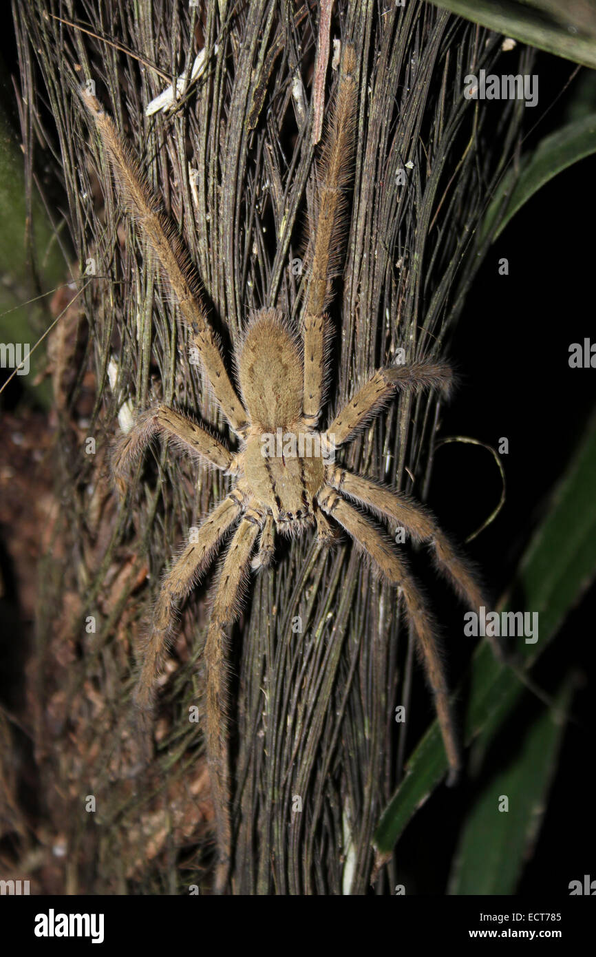 large hairy tropical spider