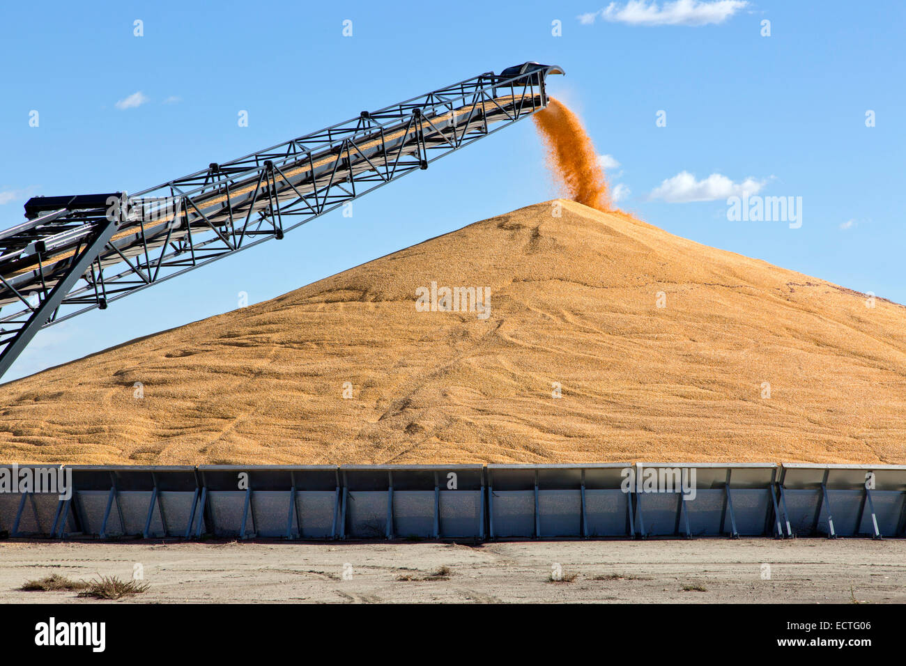 Transport conveyor deposting shelled corn into storage bunker. - Stock Image
