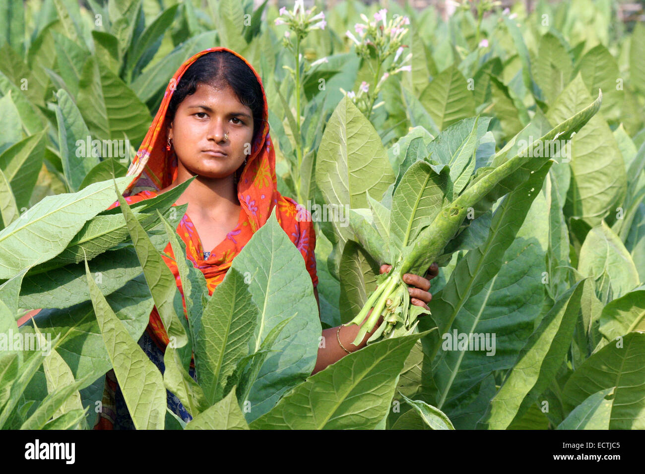2009.Woman Tobacco farmer standing in field of tobacco plants holding a bundle of tobacco leaves in manikganj out - Stock Image