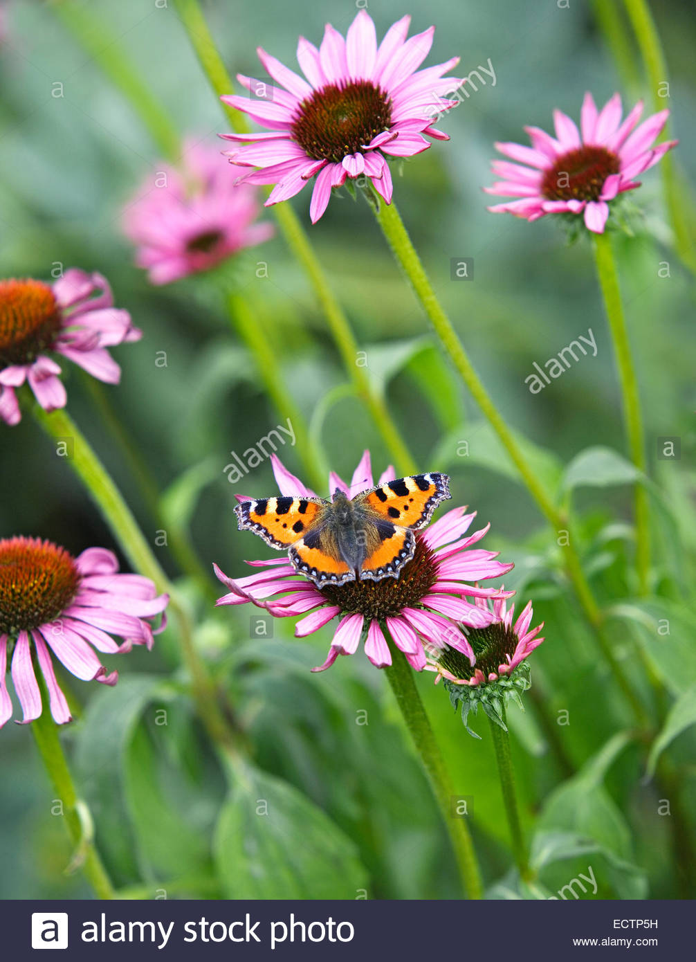 Red Admiral butterfly on Echinacea purpurea flower - Stock Image