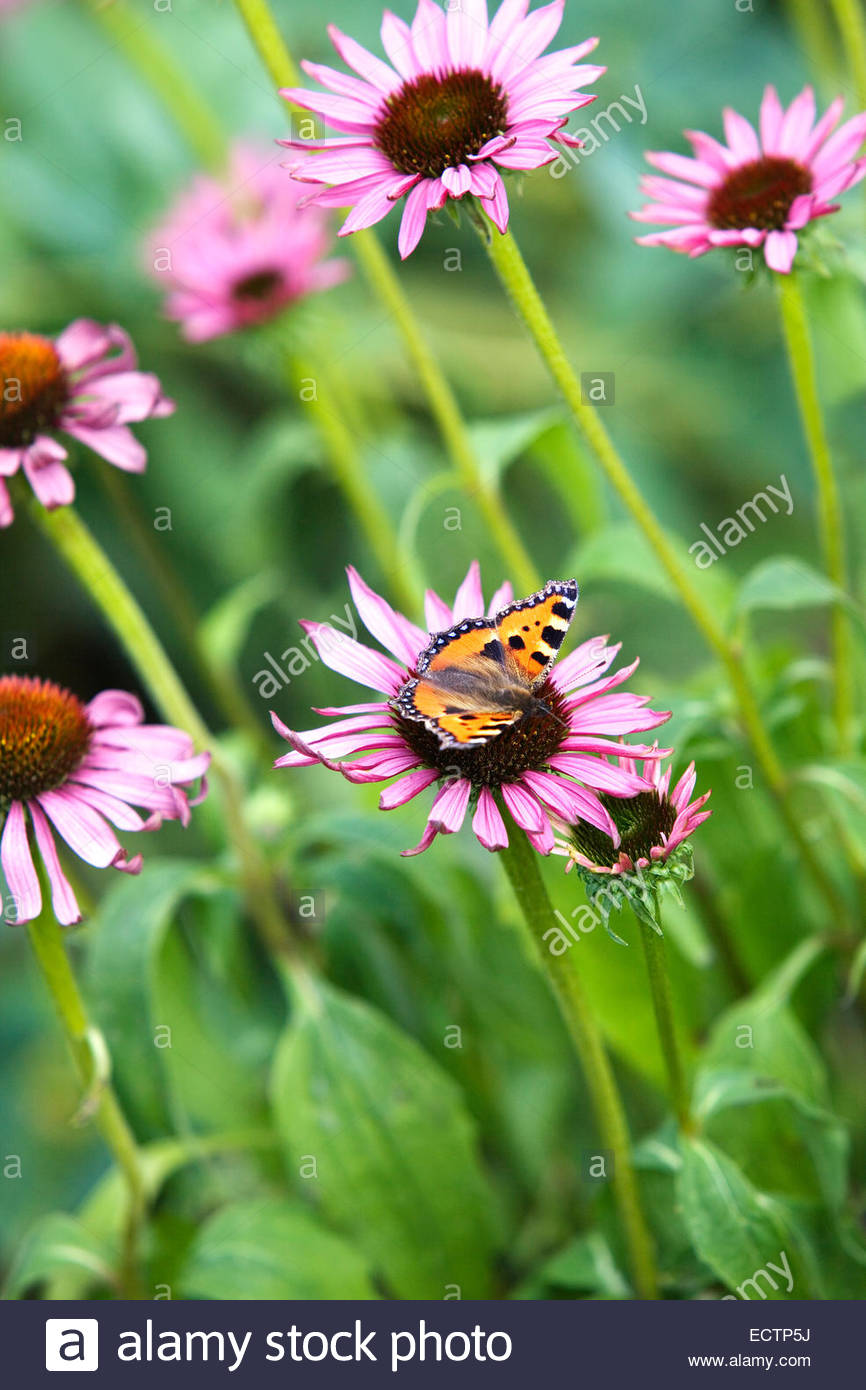 Red Admiral butterfly on Echinacea purpurea - Stock Image