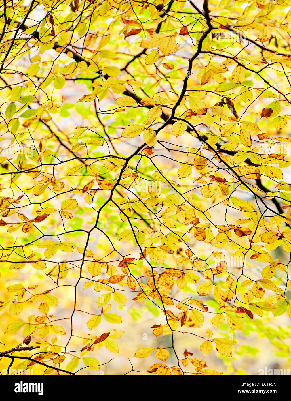 Beech tree - Fagus sylvatica - Branches and leaves - Stock Image