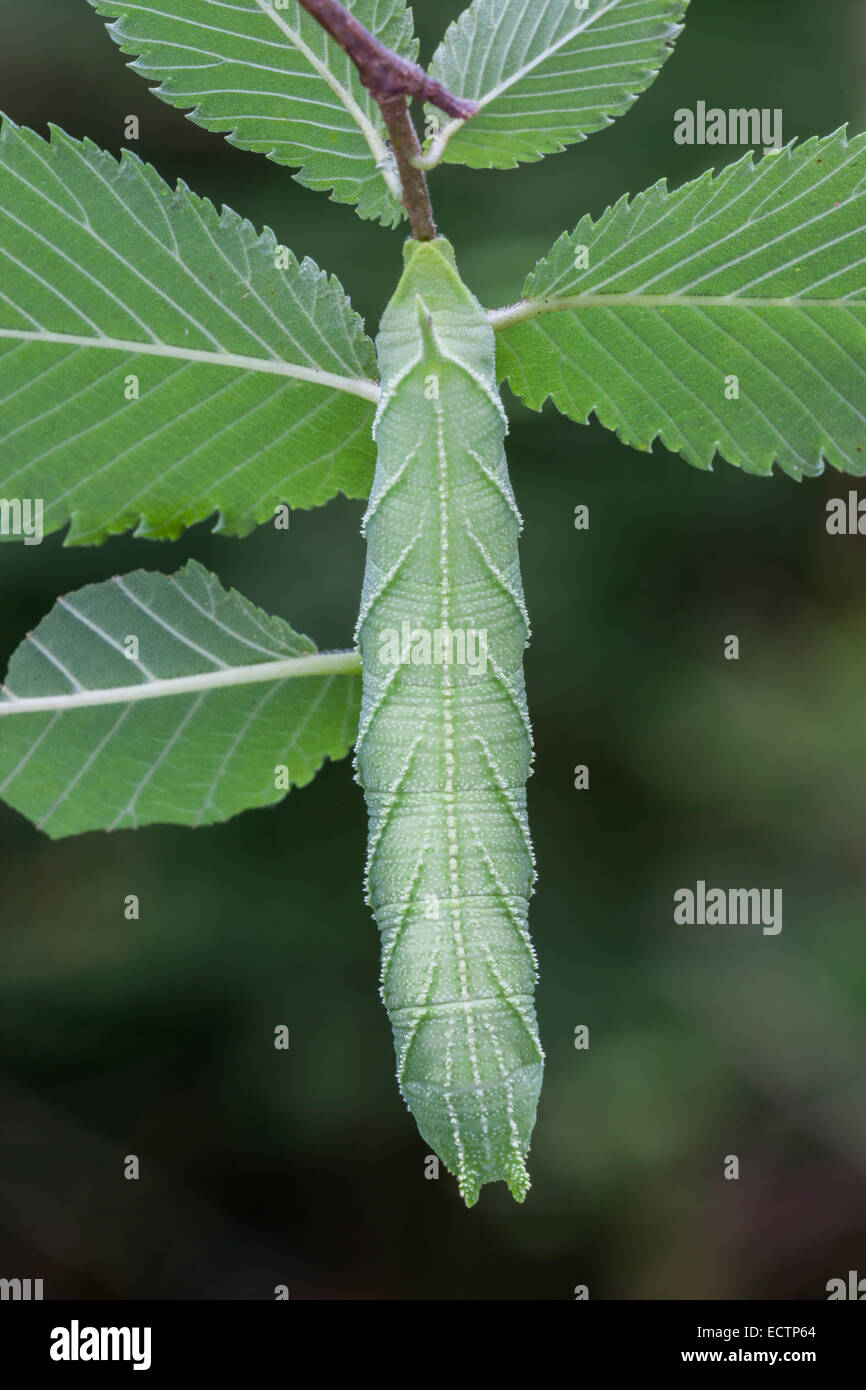 Elm Sphinx (Ceratomia amyntor) Larva on Elm.  Note the incredible resemblance of the caterpillar and leaf markings - Stock Image