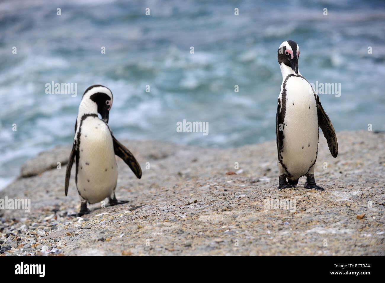 African penguins (spheniscus demersus) Stock Photo