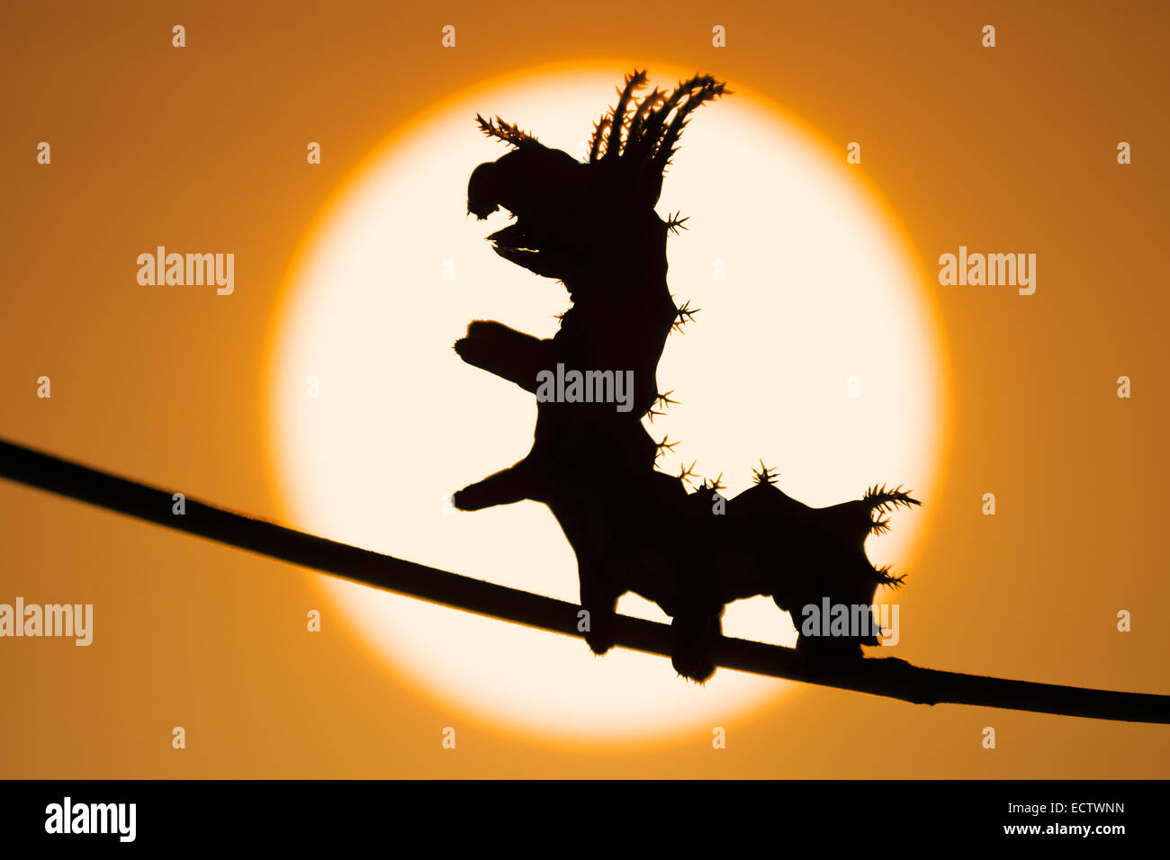Regal Moth aka HIckory Horned Devil aka Royal Walnut moth, 3rd instar larva silhouetted against the sunrise. - Stock Image