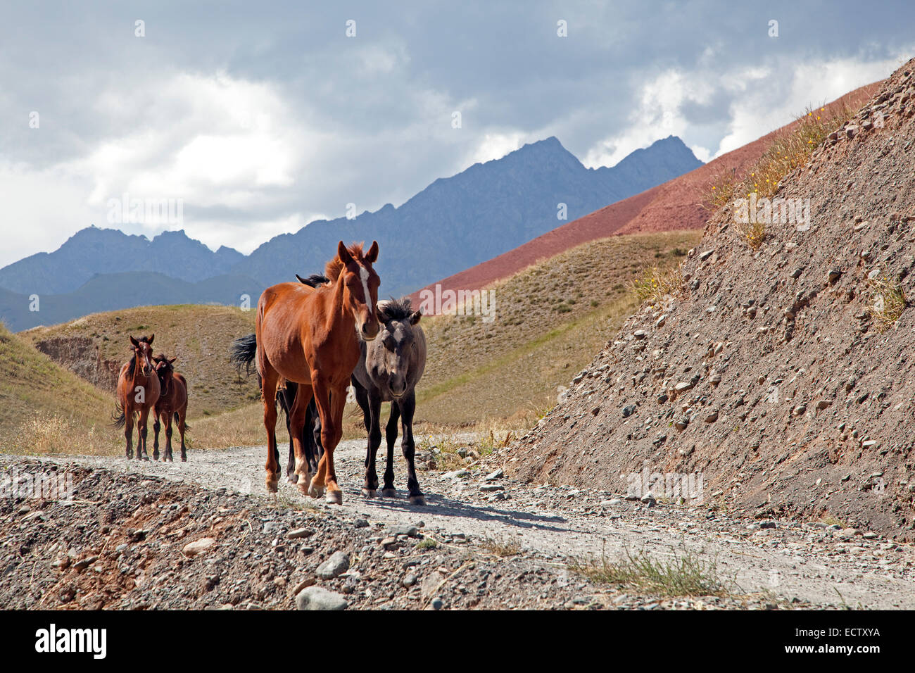 Kyrgyz horses following path in the mountains of the Osh Province, Kyrgyzstan - Stock Image