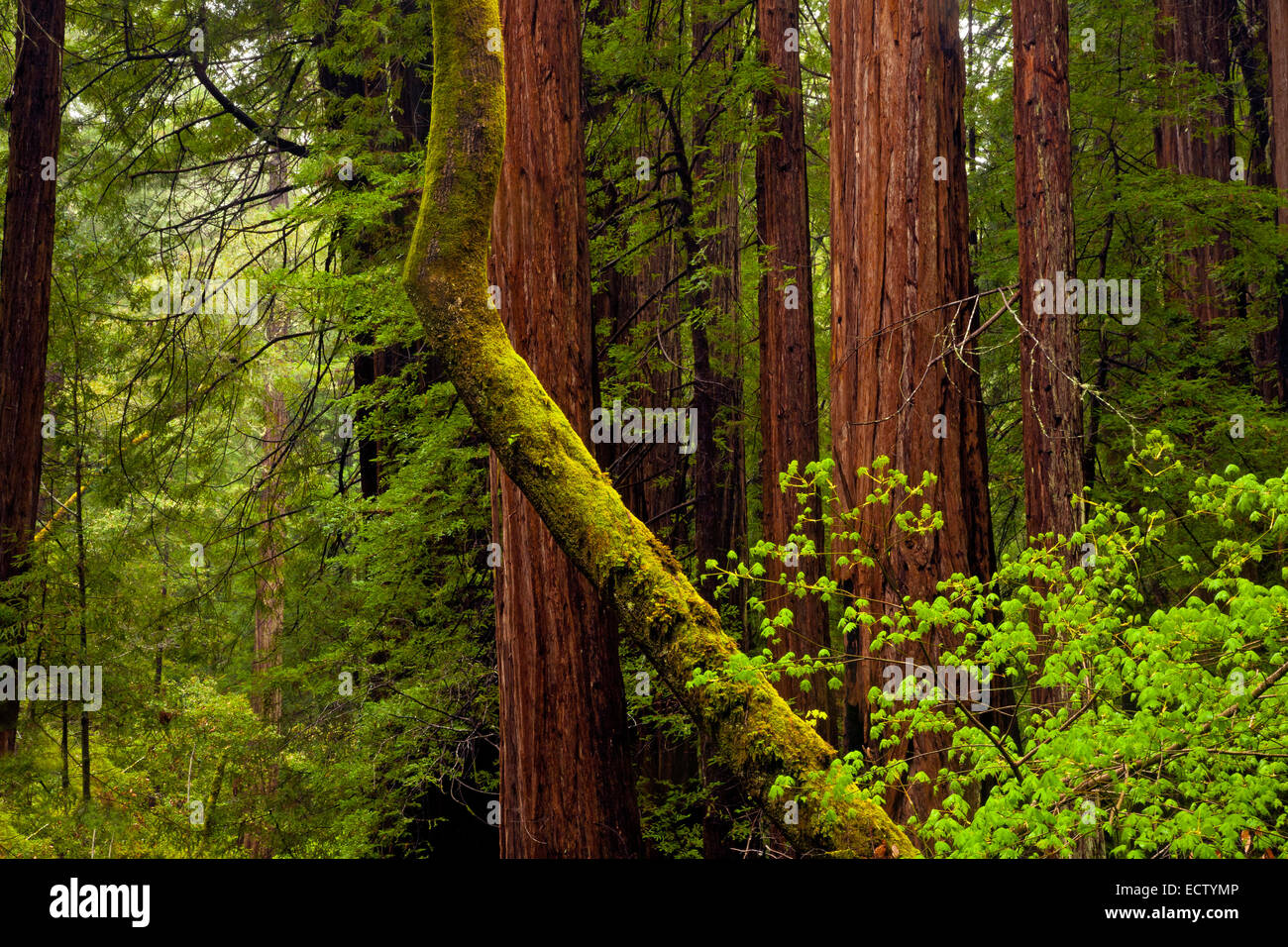 CA02563-00...CALIFORNIA - Mixed forest of redwoods and maples in Muir Woods National Monument. - Stock Image
