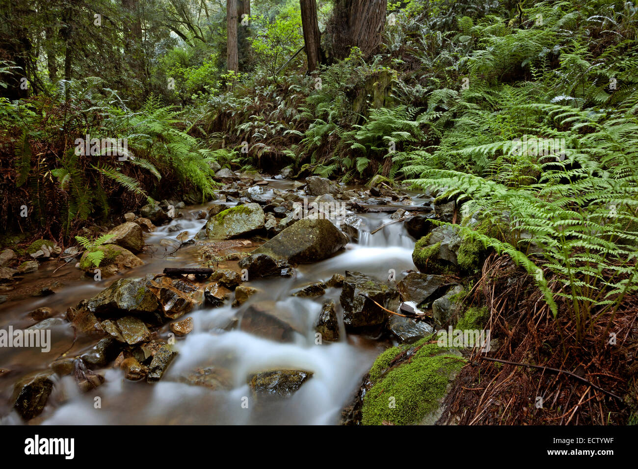 CA02567-00...CALIFORNIA -  Webb Creek viewed from the Steep Ravine Trail in Mount Tamalpais State Park. - Stock Image