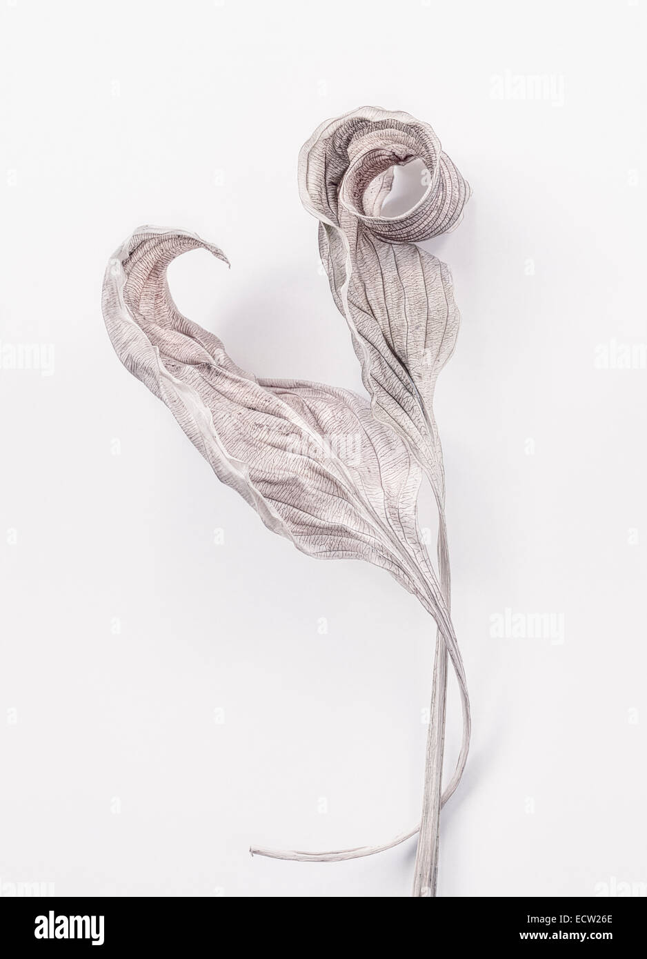Two dry Hosta Leaves - Stock Image