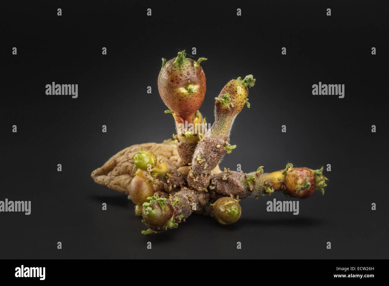 Potato Tubers - Stock Image
