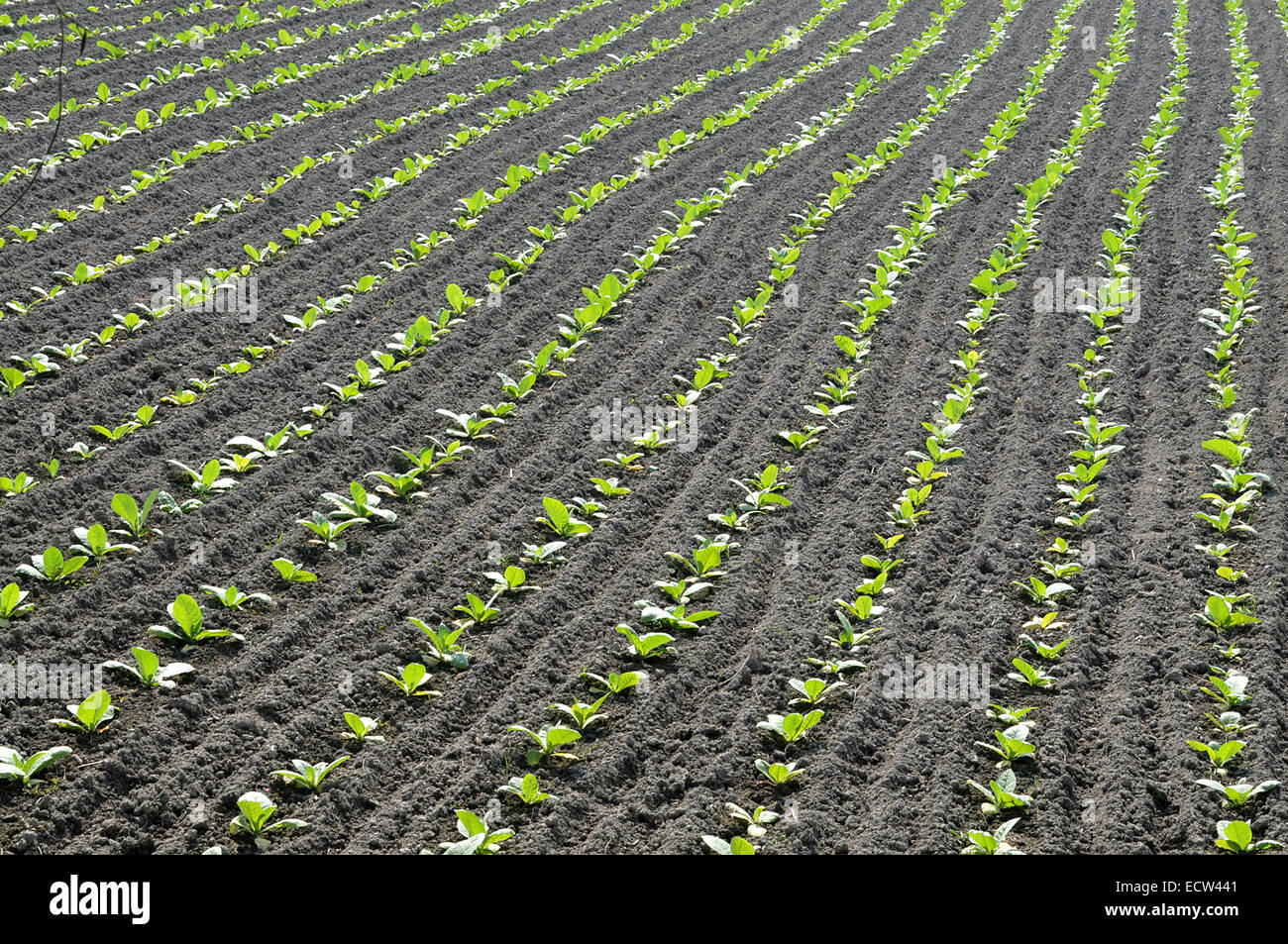 December 2010.Tobacco field in manikganj out site of Dhaka . - Stock Image