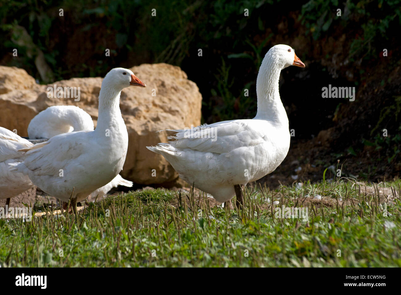 goose outside on meadow running free - Stock Image