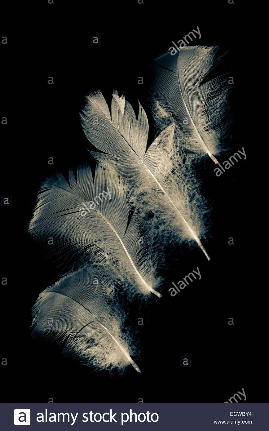 Fluffy feathers on black background - Stock Image