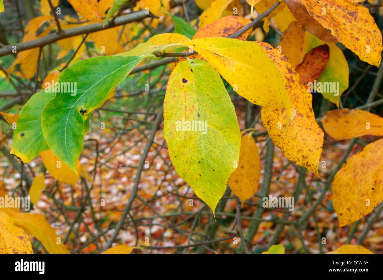 Nyssa sylvatica ( Black Tupelo, Black Gum or Sour Gum Tree ) in Autumn - Stock Image