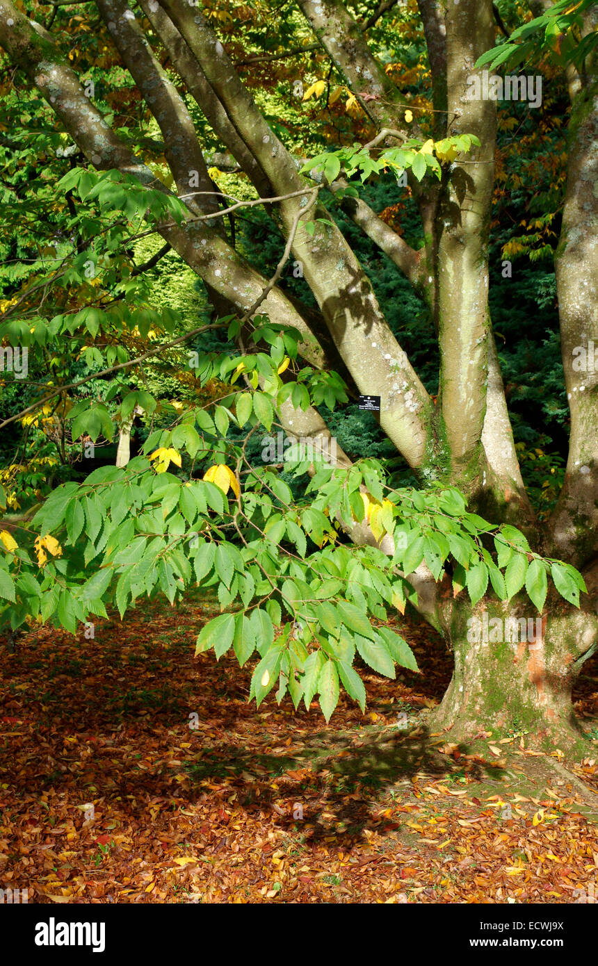 Zelkova serrata keaki ( Japanese Zelkova Tree ) at Westonbirt Arboretum, Gloucestershire, England, UK - Stock Image