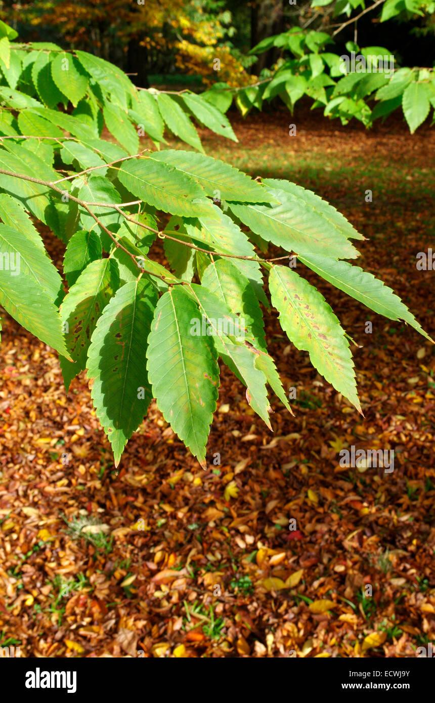 Zelkova serrata keaki ( Japanese Zelkova Tree ) - Stock Image