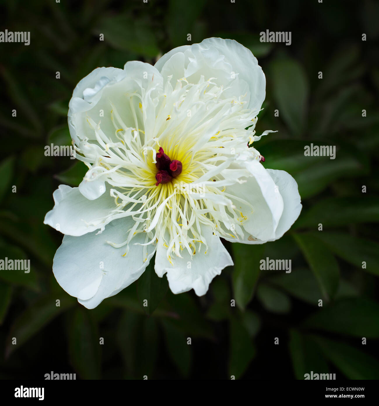 A white Peony flower - Stock Image