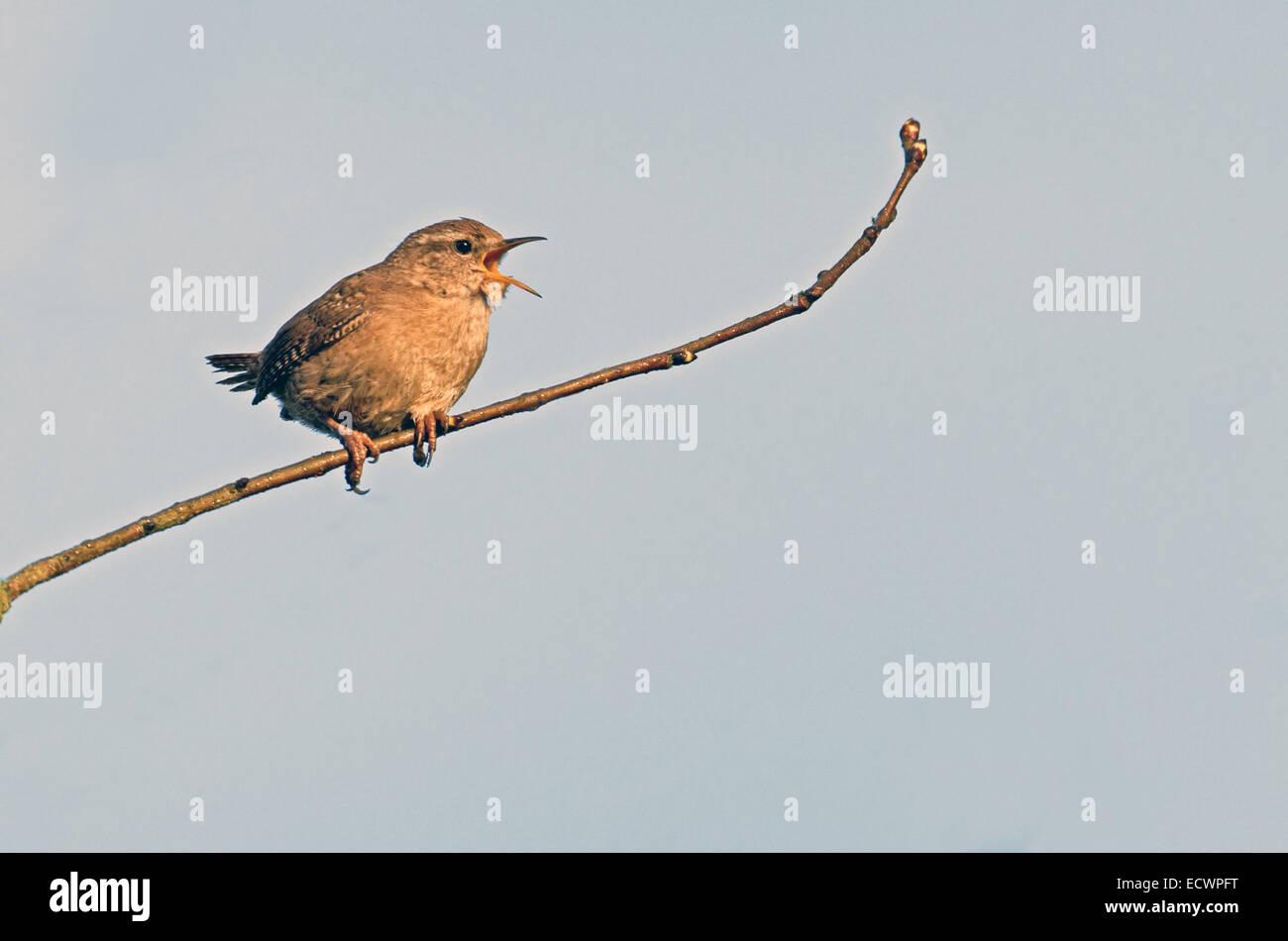 Wren-Troglodytes troglodytes, sings during spring. Uk, - Stock Image