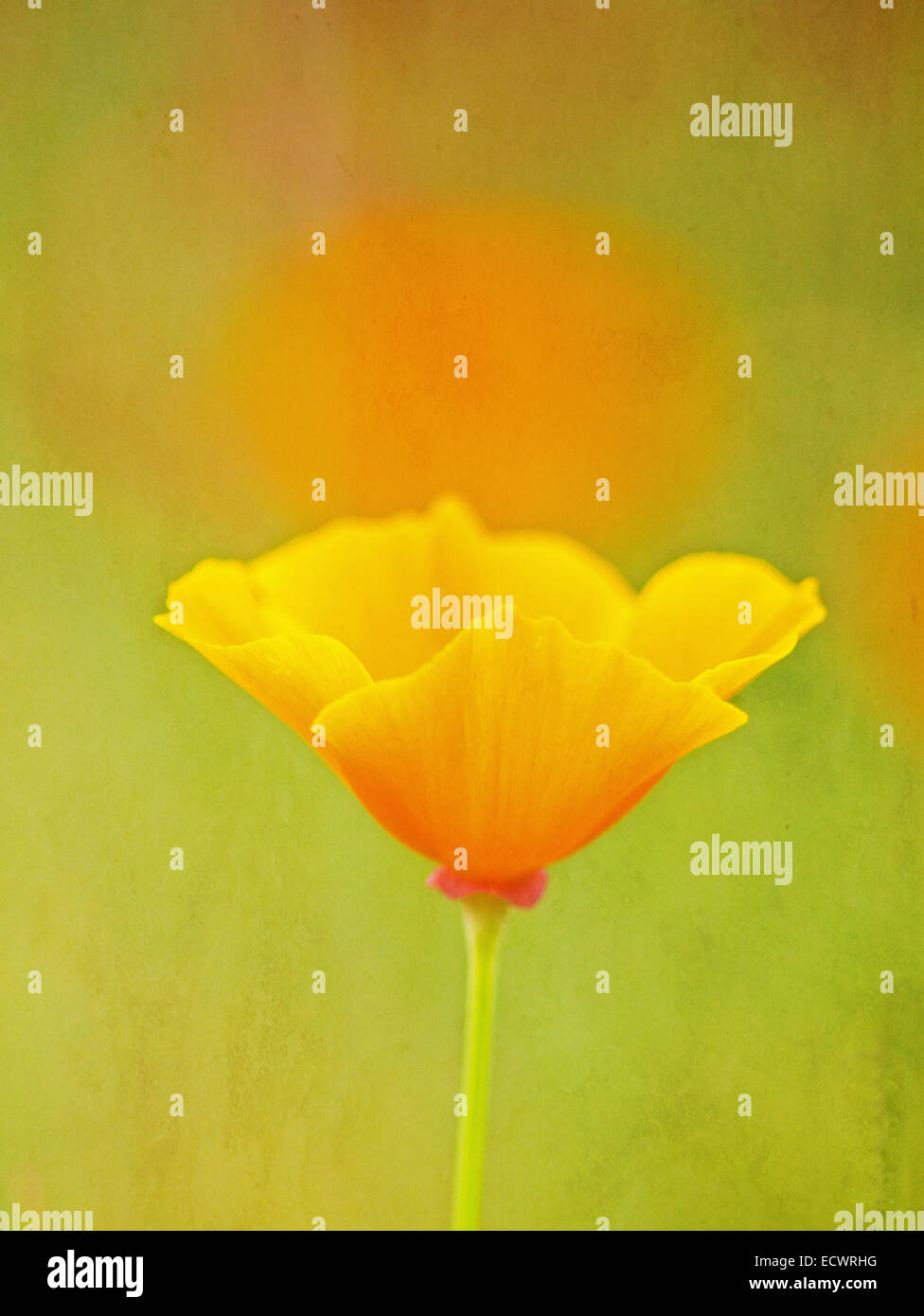 Textured Yellow Poppy Bloom - Stock Image