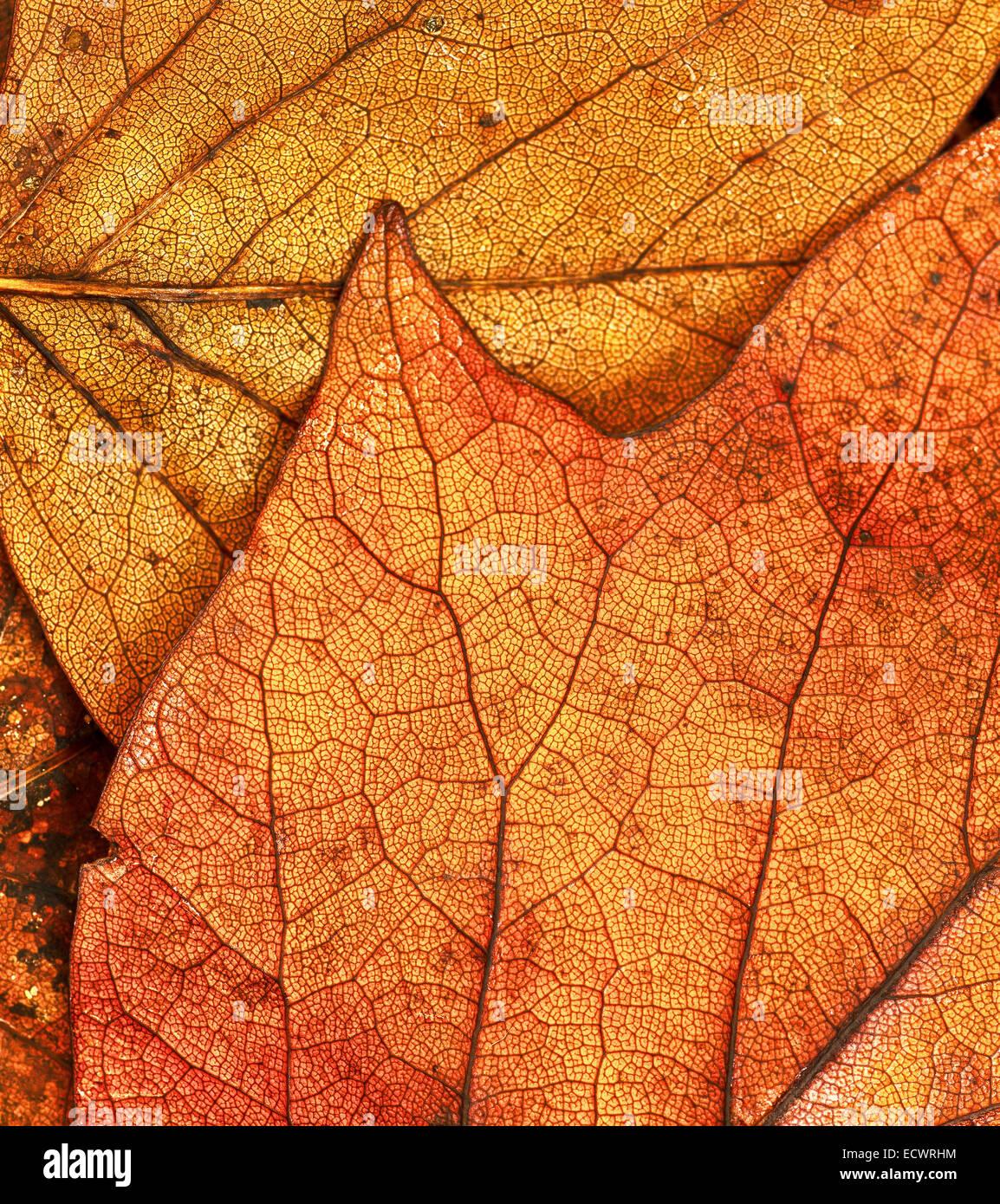 Sweet Gum Leaves Fallen on Forest Floor - Stock Image