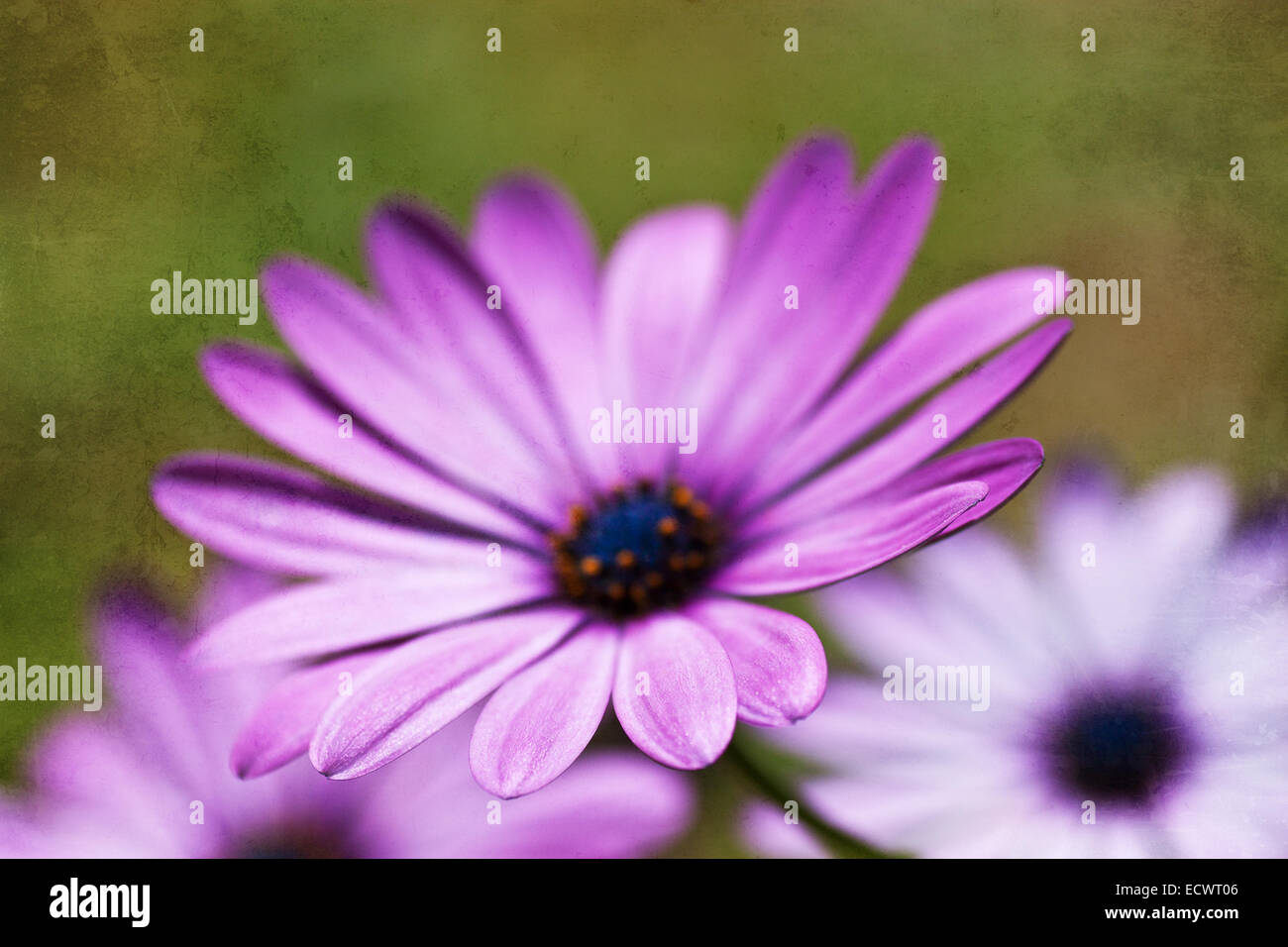 Osteospermum Plant with Textured layer - Stock Image