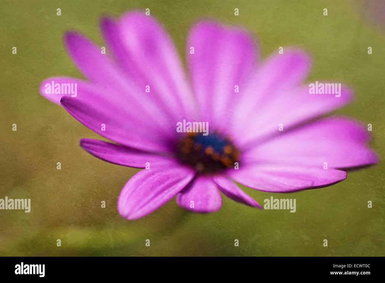 Purple Osteospermum flower with textured layer - Stock Image