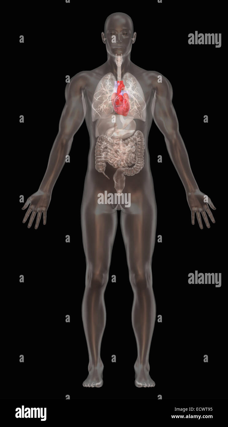 Human anatomy illustration. - Stock Image