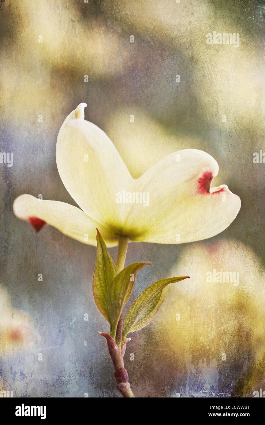 Dogwood Blossom with Textured Layer Stock Photo