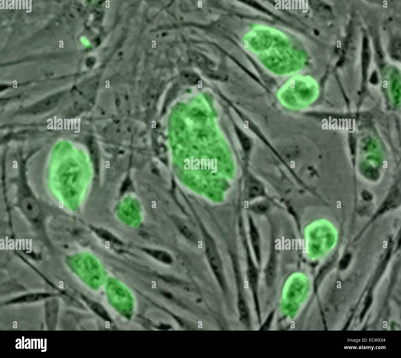 Mouse embryonic stem cells. - Stock Image