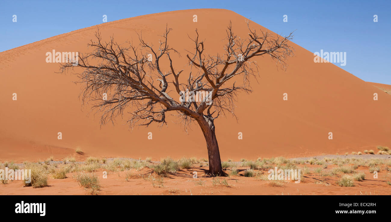View of bare tree, dry grass and sand dune in sunny desert - Stock Image