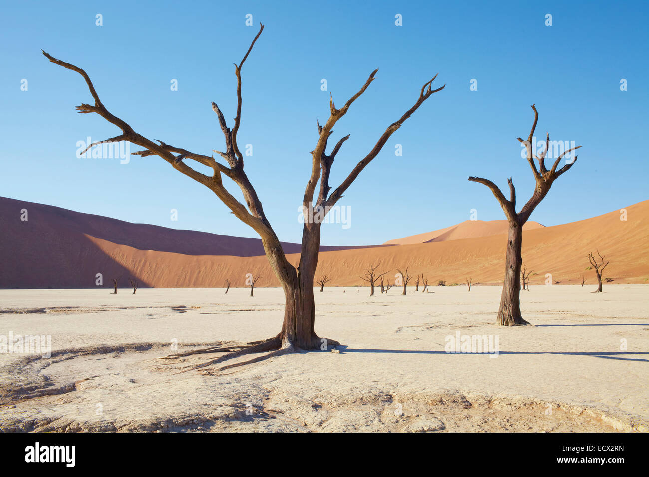 View of bare trees, sand dunes and blue sky in sunny desert - Stock Image
