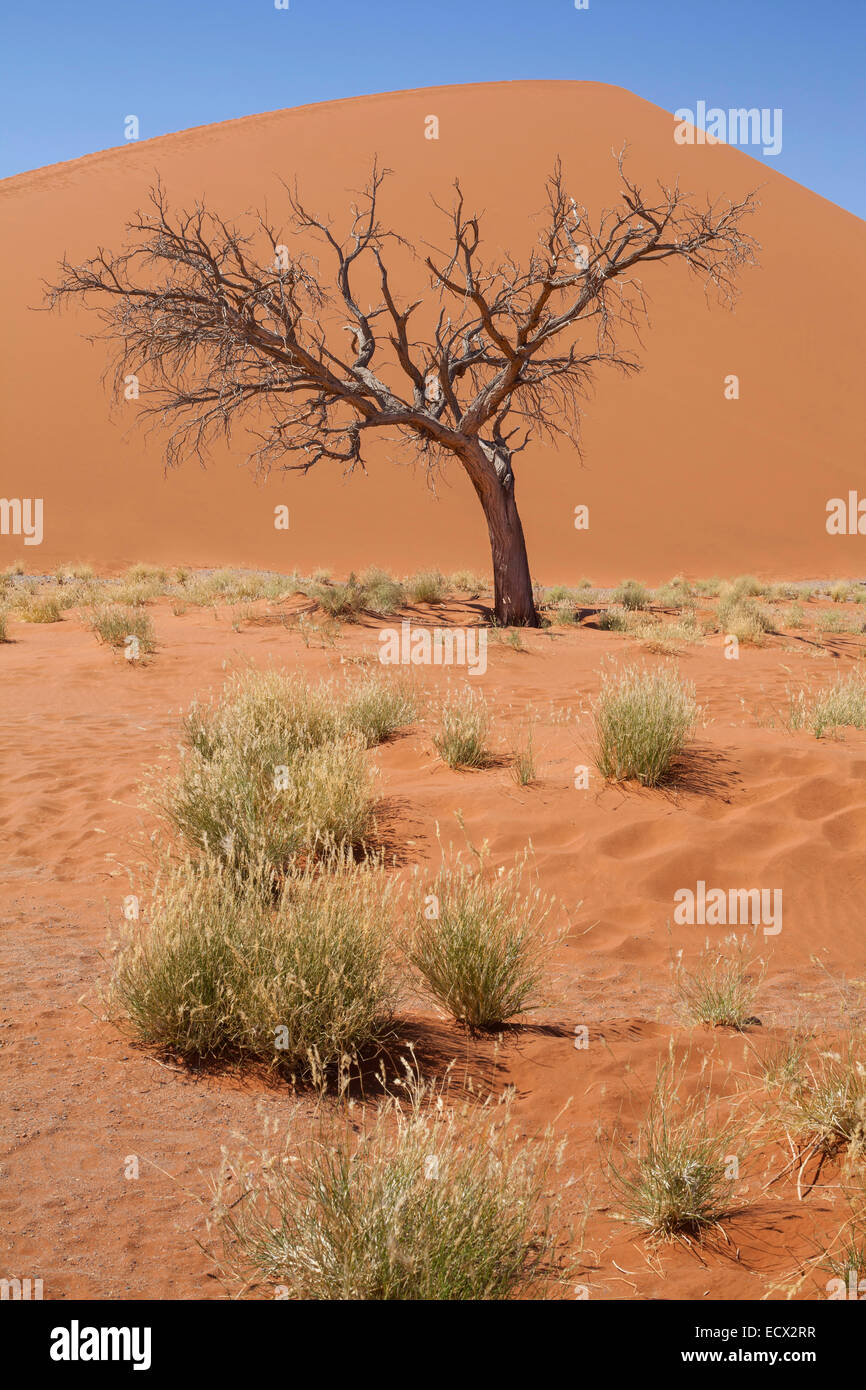 View of bare tree, grass, sand dune and blue sky in sunny desert - Stock Image