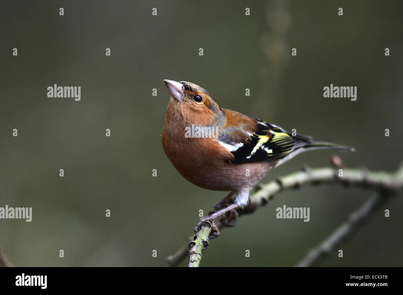 Male chaffinch - Stock Image