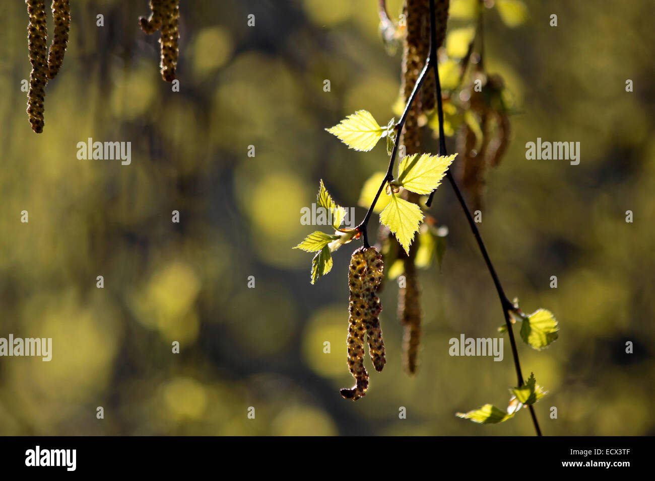 Young birch leaves in the Taunus mountains near Engenhahn, Hesse, Germany - Stock Image