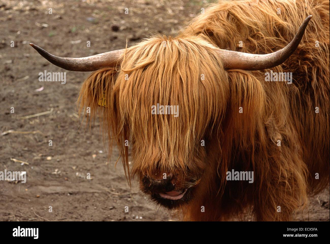 Highland Cattle (Bos taurus), Bovidae, Scotland, Europe - Stock Image