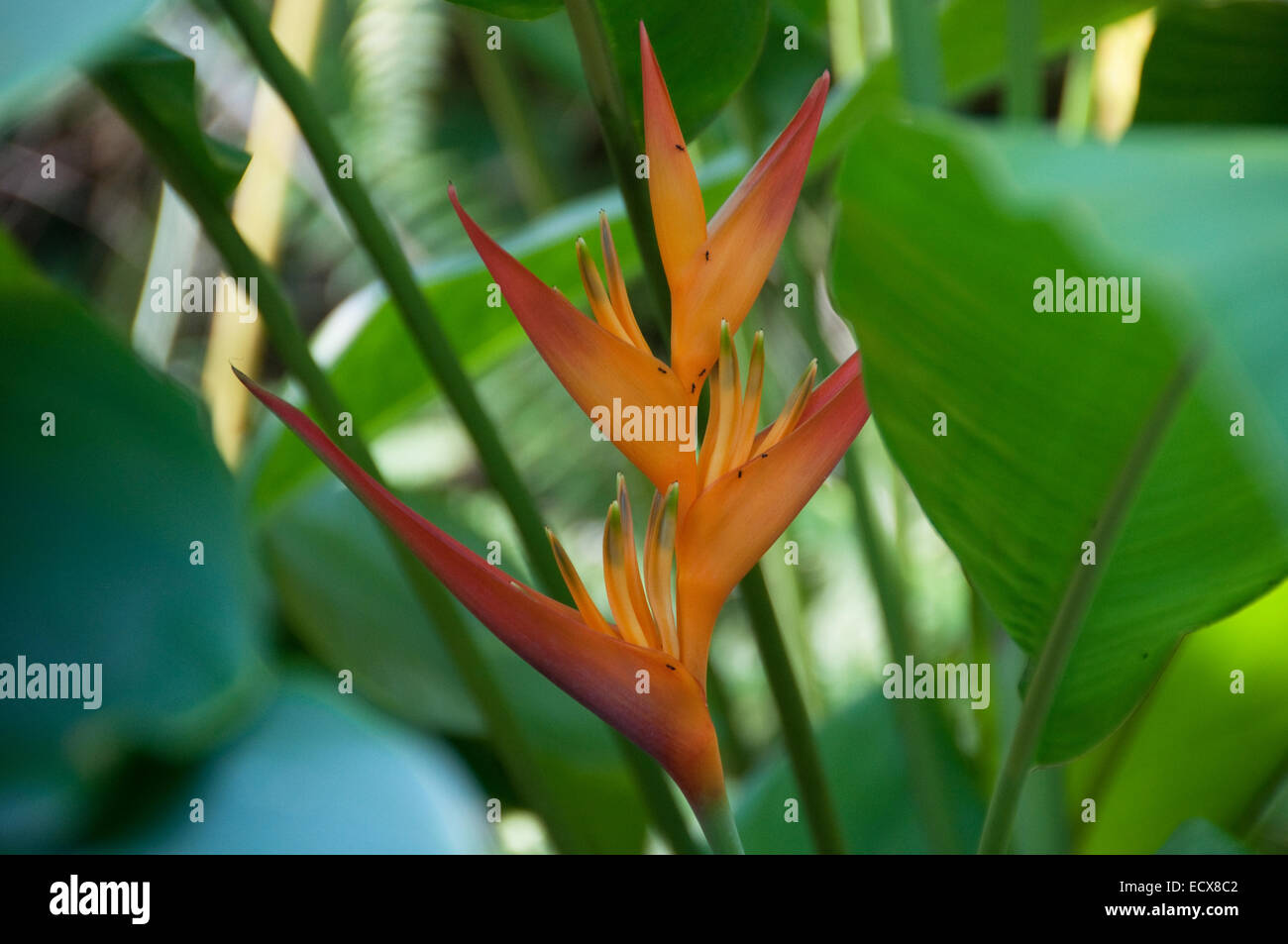 A Heliconia flower with ants walking on it, photographed at the Eden Project in Cornwall, UK - Stock Image