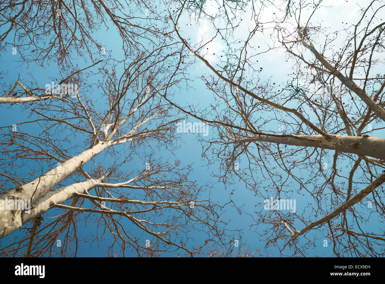 Spring treetops with blue sky and clouds - Stock Image