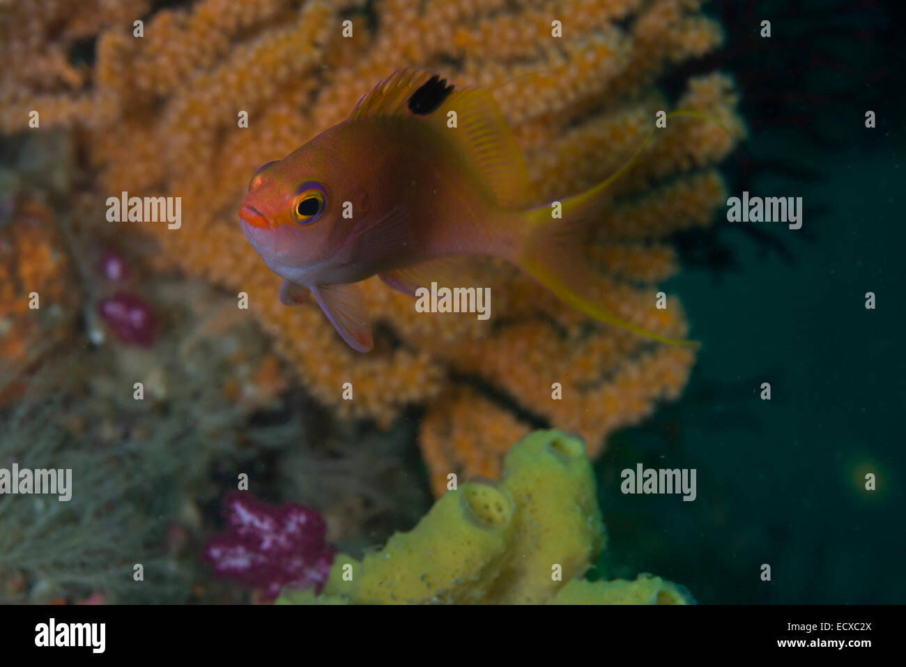 Sacura margaritacea  (Hilgendorf, 1879). Gyosho ( fish reef ) point, Owase, Mie, Japan - Stock Image