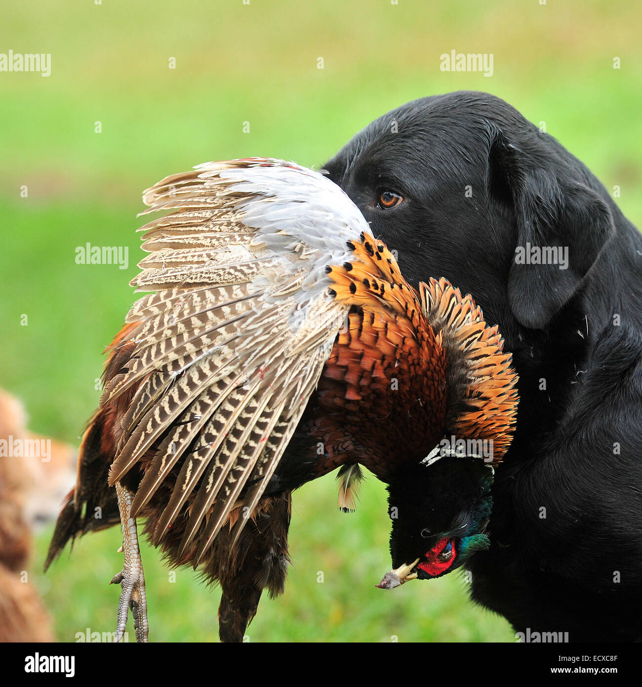 labrador retrieving a dead shot pheasant Stock Photo