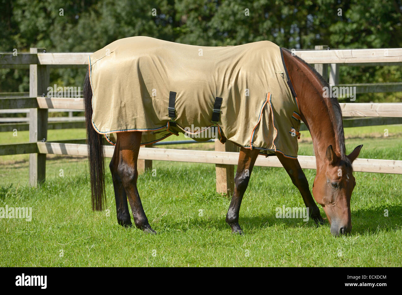 Horse wearing a fly sheet in the field - Stock Image