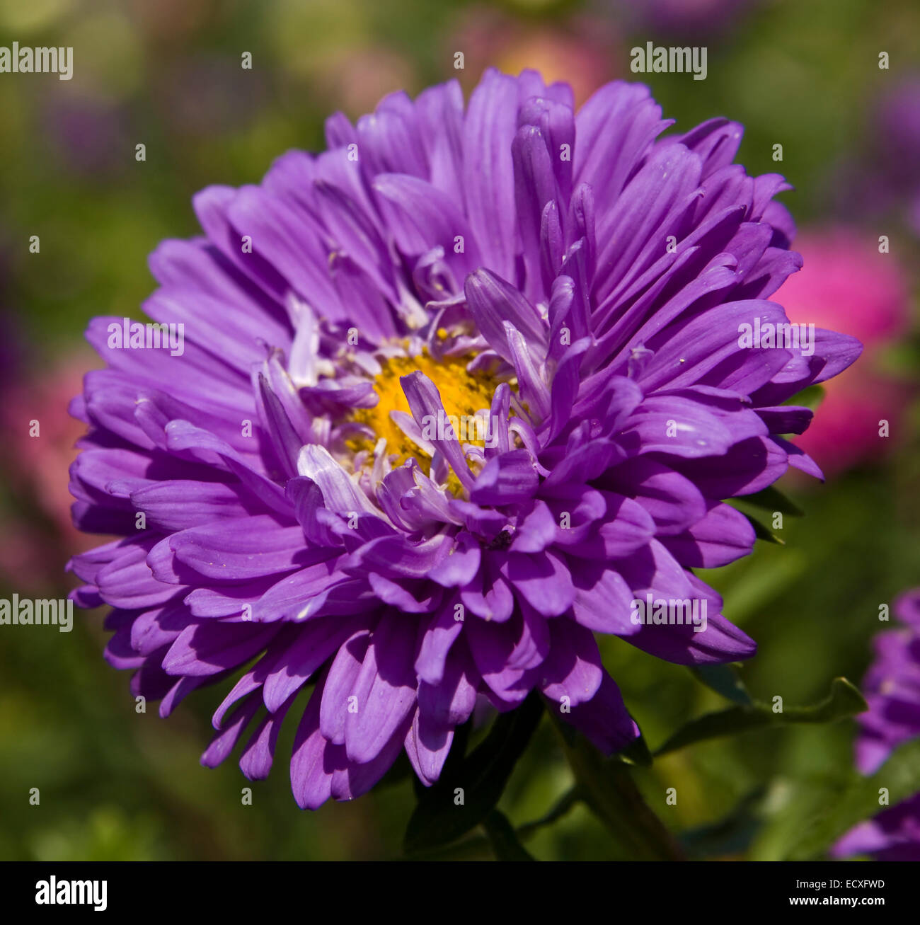 One Big Blue Aster Flower On Green Background Stock Photo 76800569