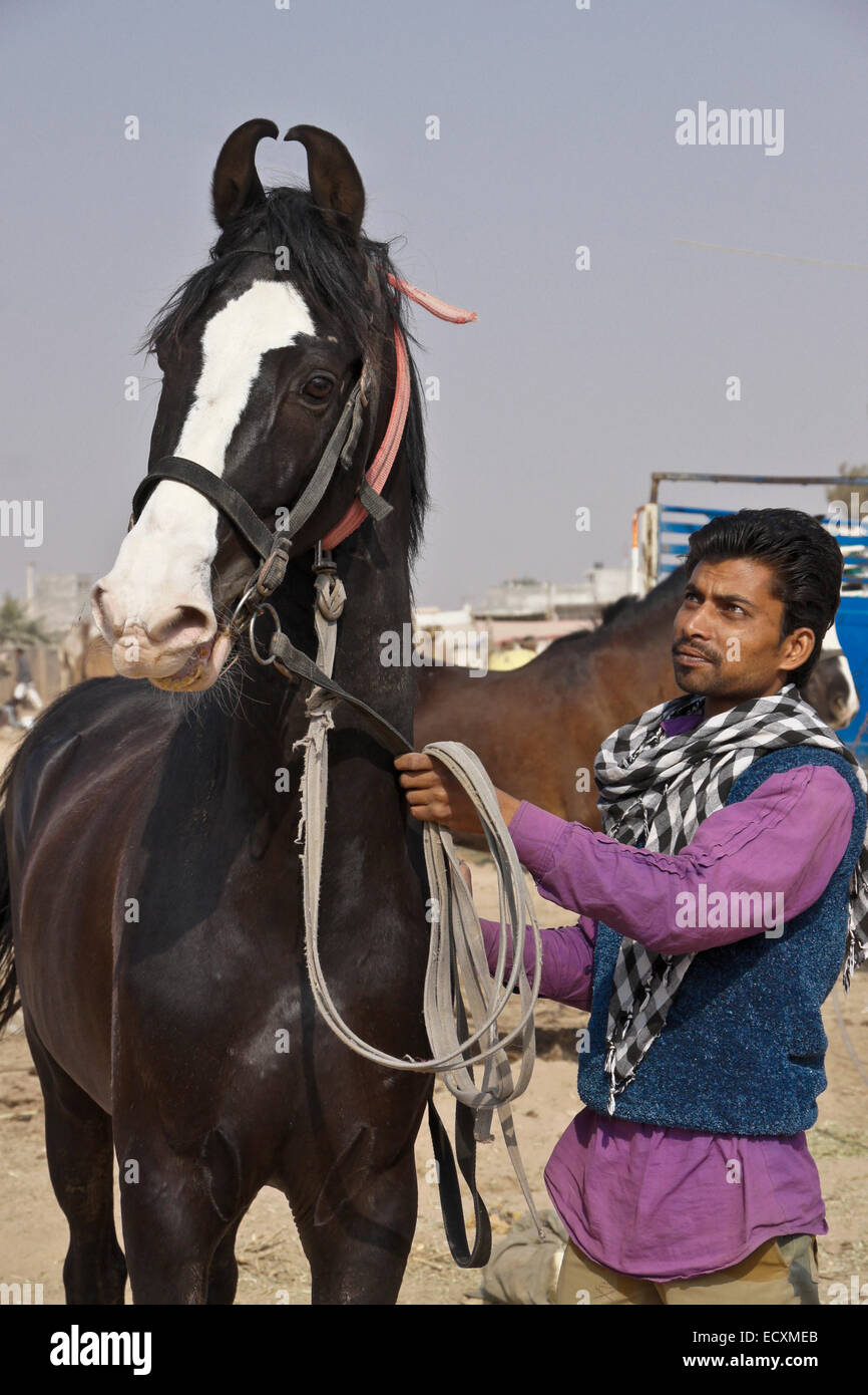 Marwari Horse High Resolution Stock Photography And Images Alamy