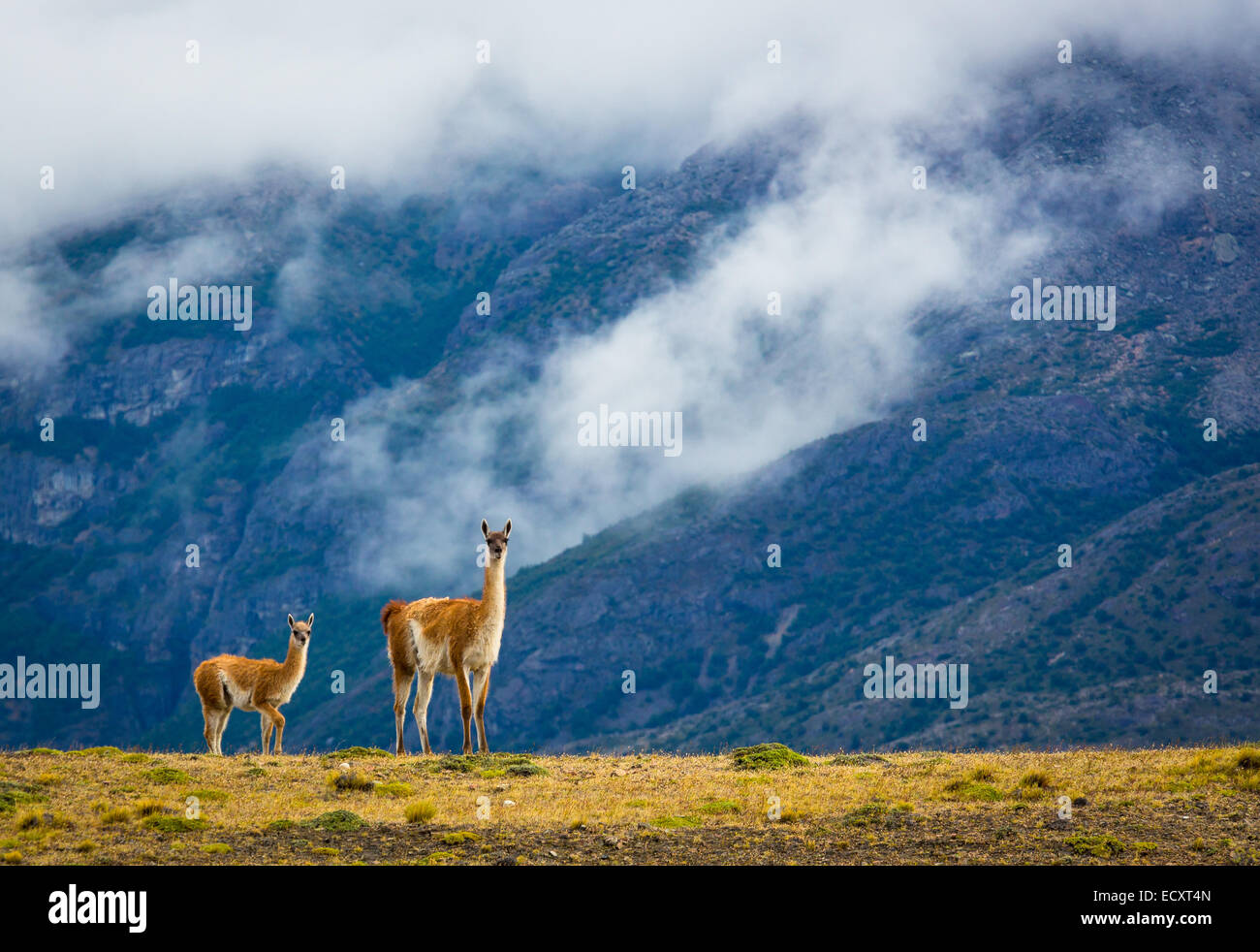 The guanaco is a camelid native to South America that stands between 1 and 1.2 metres and wieghes about 90 kg - Stock Image