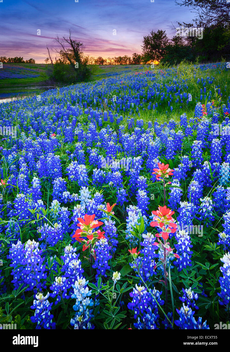 Texas paintbrush and bluebonnets in Ennis, Texas. Lupinus texensis, Texas bluebonnet, is a species of lupine endemic - Stock Image