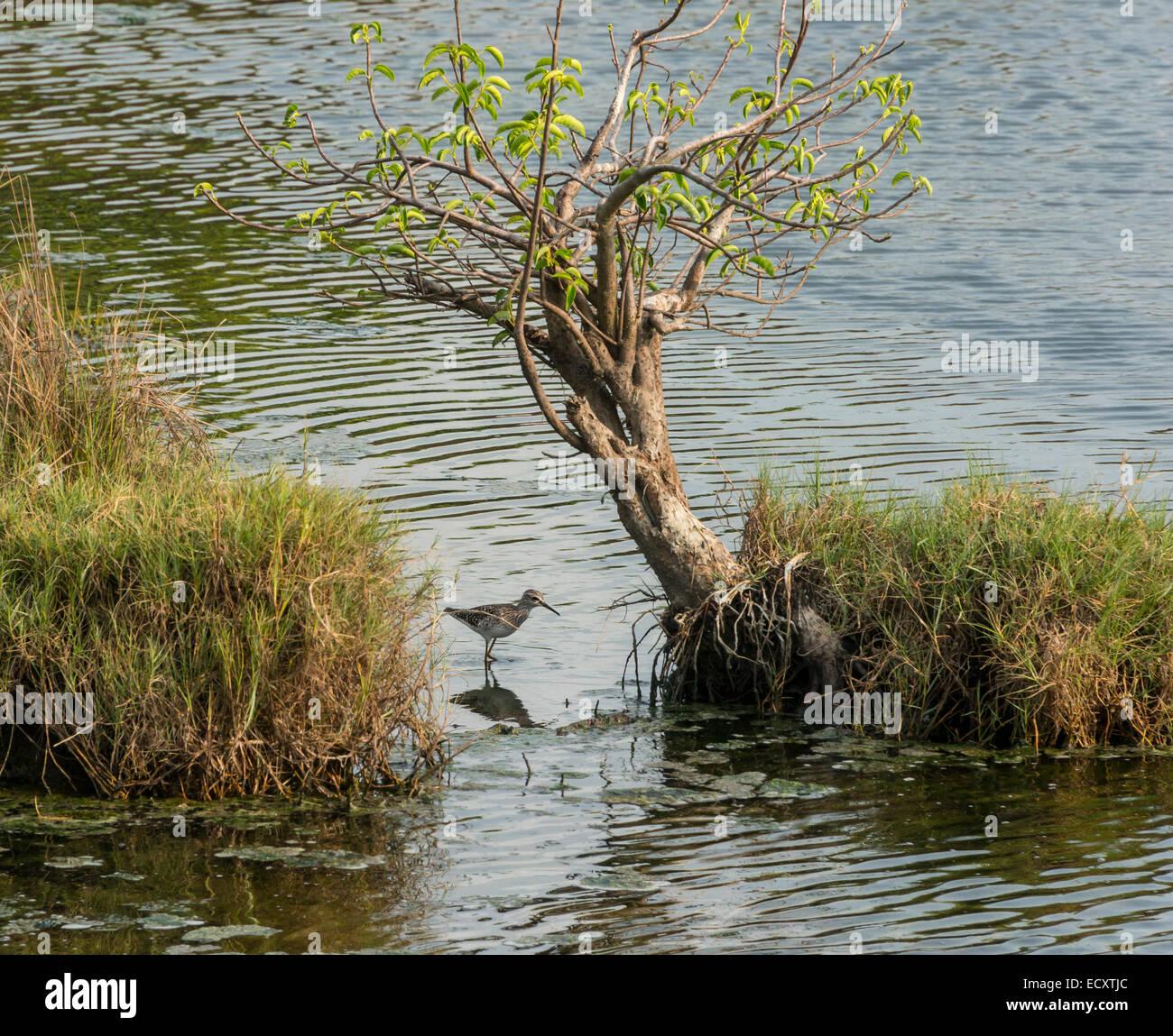 Kerala, India - Cochin. Sanpiper in Puthuvype wetlands. - Stock Image