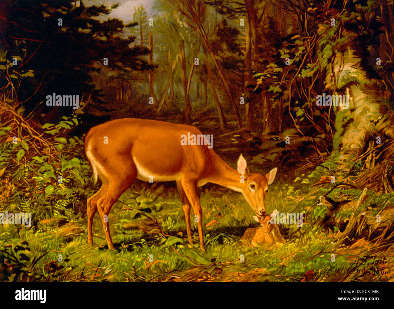 Maternal Love - A doe taking care of a fawn - Stock Image