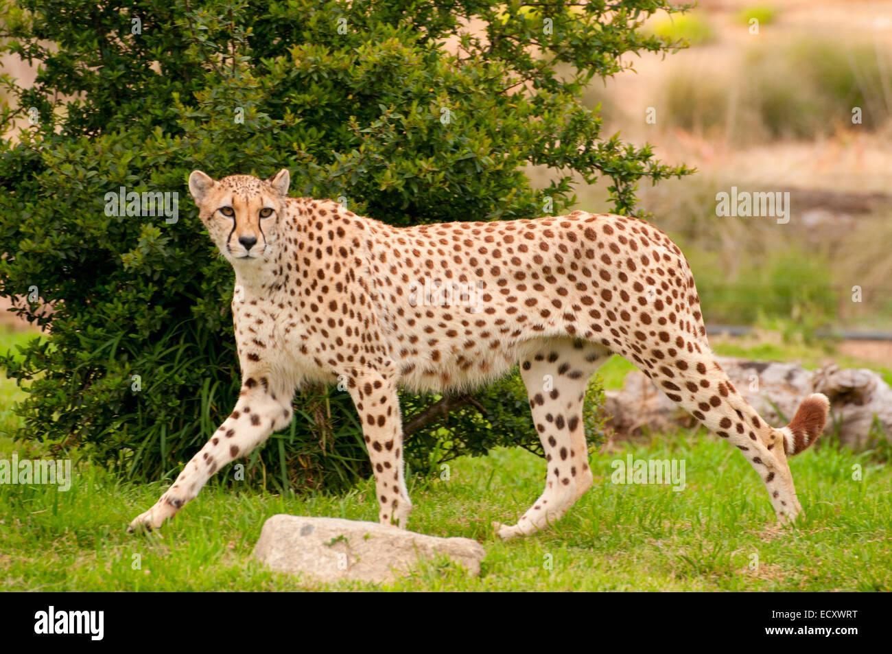 cheetah acinonyx jubatus san diego zoo safari park san diego